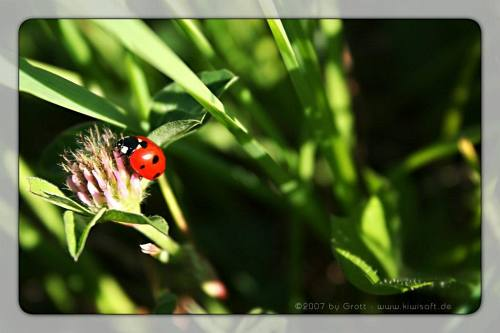 may ladybird by Kiwisaft.de