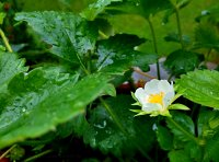 Rainy Fragaria 102056 by Kiwisaft.de
